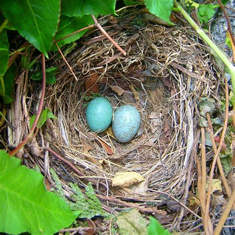 nest with birds pictures bird nest simple english wikipedia the free encyclopedia