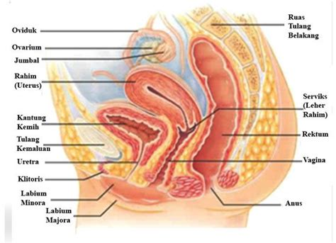 Janin Dalam Rahim Alat Reproduksi Wanita Bagian Dalam Dan Luar Beserta