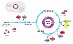 Diagram Cellular Respiration Glycolysis