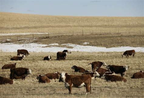 cme feeder cattle cba cattle winter pasture1000 jpg