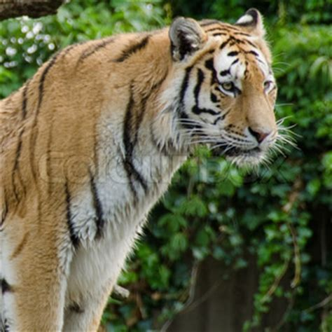 Tiger Watching Standing Seen Half Portrait From The