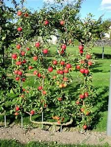 Arbre A Fruit : 59 best palissage pour arbre fruitier images on pinterest fruit trees fit and head stand ~ Melissatoandfro.com Idées de Décoration