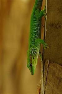 Wild Herps - Madagascar Day Gecko (Phelsuma madagascariensis)