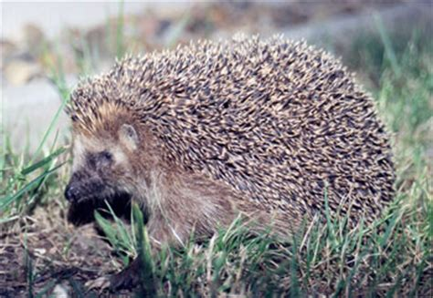 what heat l to use for hedgehogs european hedgehog the animal files