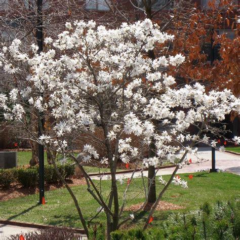 potted magnolia stellata trees  sale  buy