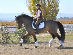 Curly Dressage Pony Stallion - YouTube