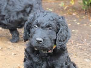 Cocker Poodle Mix Puppy
