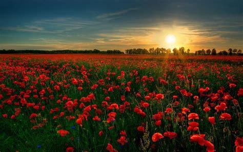 flores rojas campos  fondo de pantalla fondos de