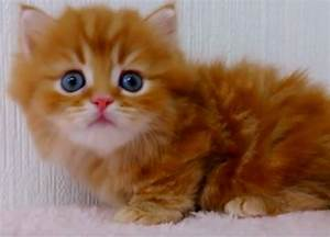 Fluffy Orange Kitten With Blue Eyes - Cats vs Cancer