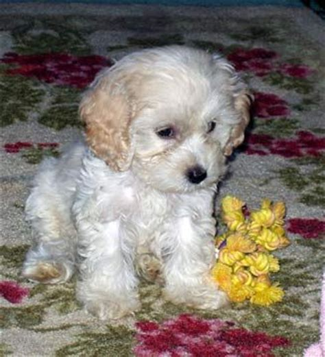 25 best images about cockapoos on pinterest poodles