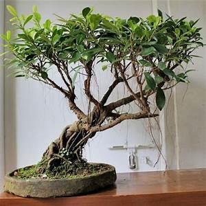Bonsai Ficus Ginseng : bonsai ficus ginseng cura bonsai coltivazione bonsai ~ Buech-reservation.com Haus und Dekorationen