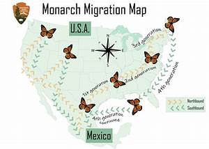 Continental Nomads  Monarch Butterflies