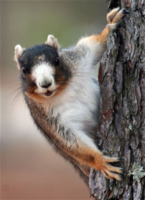 sams field notes fox squirrel coastal review