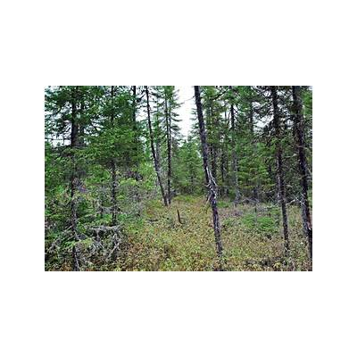 Panoramio - Photo of Conifer Swamp Headwaters Wilderness