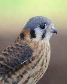 American Falcons Birds of Prey