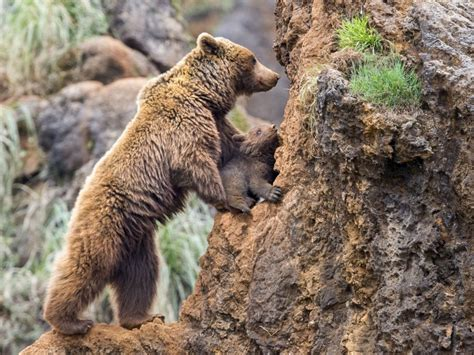 Aizkustinošs skats: lāču mamma mazulim māca kāpt klintīs ...