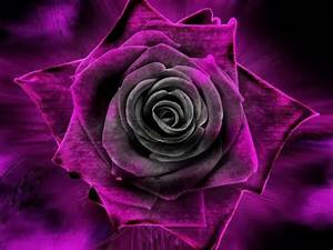 Purple n black rose | BEAUTIFUL FLOWERS N ROSES