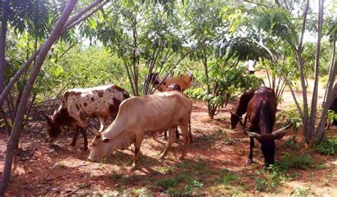 rwandan farmers losing more cattle to burundi thugs kt press