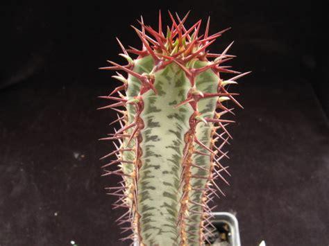 euphorbia confinalis ssp rhodesiaca cactofili
