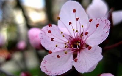 Cherry Flower Blossoms Pink Flowers Sakura Wallpapers