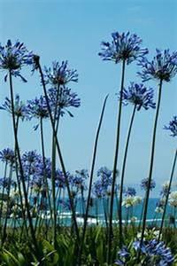 Graines D Agapanthe : comment semer les graines d 39 agapanthe ~ Melissatoandfro.com Idées de Décoration