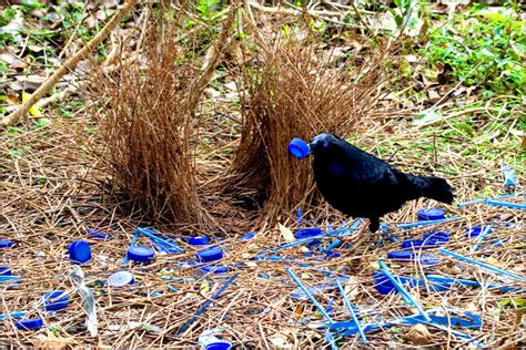 these birds attract mates with beautiful love nests