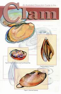 Clam Internal Anatomy