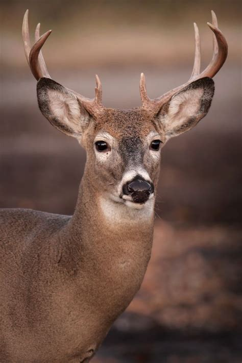 1000 images about whitetail deer on whitetail 1000 images about antlers and horns on mule