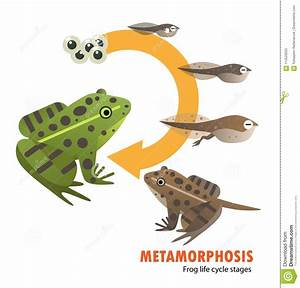 Frog Life Cycle Metamorphosis Stock Vector