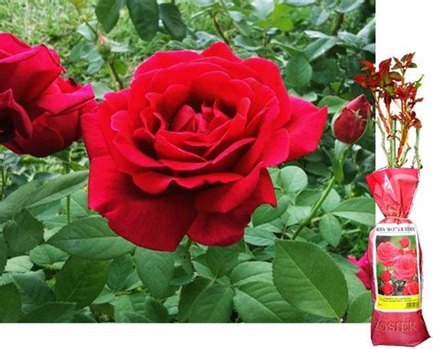 flower information and pictures 1 spring growing red fragrant english rose bush flower bare rooted plant shrub ebay