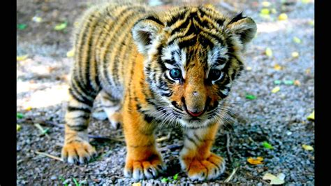 tiger hd wallpapers youtube
