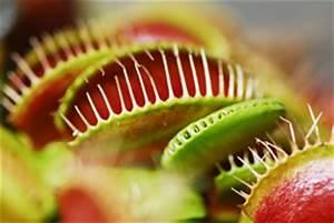 Venusfliegenfalle Pflege Haltung : venusfliegenfalle dionaea muscipula pflege und f ttern ~ Watch28wear.com Haus und Dekorationen