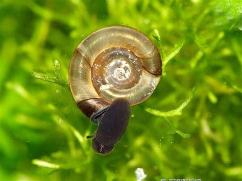 les escargots d eau douce biologie mollusques aquarium