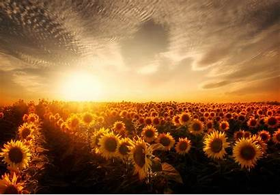 Sunset Sunflowers Wallpapers Resolution Nature Laptop 1080p