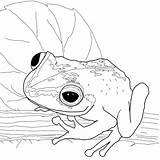 Coqui Coloring Colorear Rana Dibujo Dibujos Frosch Ausmalbild Frog Disegni Colorare Bambini Super Supercoloring Imagenes Puerto Rico Printable Drawing Morro sketch template