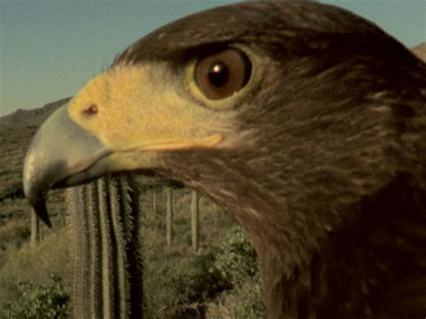 falcon cuisine harris 39 s hawks vs jackrabbit