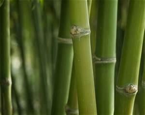 Wie Schnell Wächst Bambus : riesenbambus winterharter bambus pflanzen und pflege ~ Frokenaadalensverden.com Haus und Dekorationen