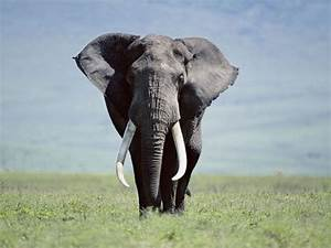 C U00f3mo Comerte Un Elefante