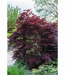 Roter Ahorn Baum : roter f cher ahorn 39 atropurpureum 39 dehner ~ Michelbontemps.com Haus und Dekorationen