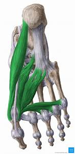 Medial Plantar Muscles Of The Foot  Anatomy