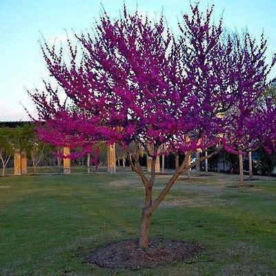 japanese redbud tree photos 20 eastern redbud tree seeds the sun seeds landscaping eastern redbud tree