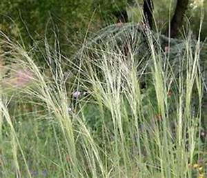 Hochwachsende Stauden Winterhart : stipa barbata 39 federspiel 39 plants i like want ~ Michelbontemps.com Haus und Dekorationen