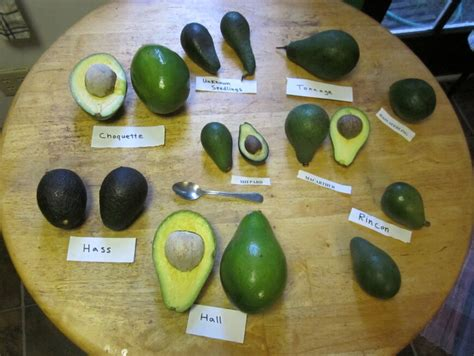 different ways to cook avocado florida avocado avocado varieties avocado types and food