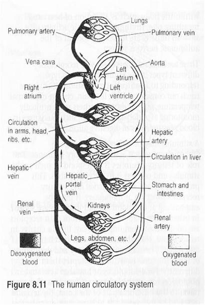 Circulatory System Worksheet Human Diagram Cardiovascular Worksheets