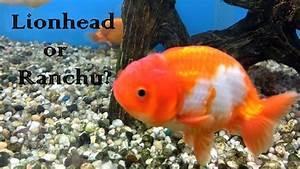Goldfish Standards Series: Lionhead or Ranchu? - YouTube