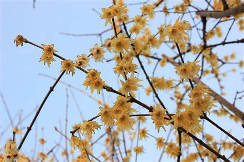 fiore calicanto calicanto consigli coltivazione e cura