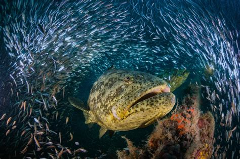 grouper goliath giant florida le groupers underwater fish orgy spawning ocean taille un