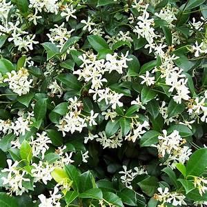 Plantes Et Jardin : jasmin persistant plantes et jardins ~ Melissatoandfro.com Idées de Décoration