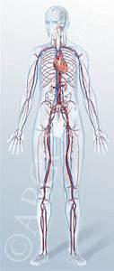 Human Circulatory System For Kids