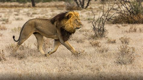 african male lion predator   savannah hd desktop